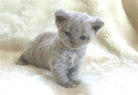 These Poodle Cats Are So Adorable Your Heart Will Melt