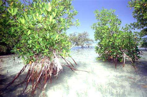 Florida Memory - Mangrove trees growing in the flats on
