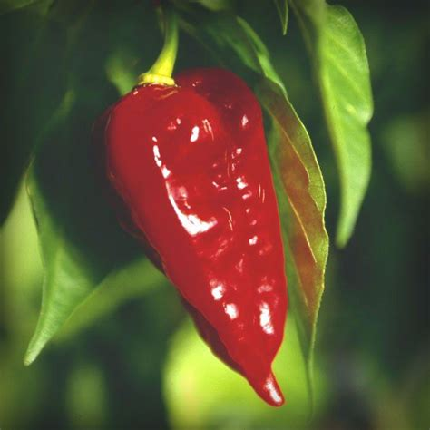144 best images about Big List of Hot Peppers! on