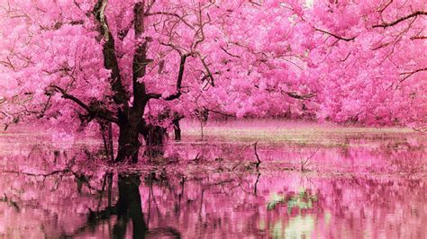 Pink Tree With Full Of Pink Flowers Reflecting On Water HD