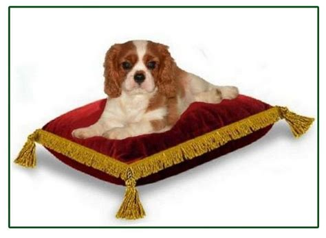 Contact - Elevage professionnel de cavalier King Charles o