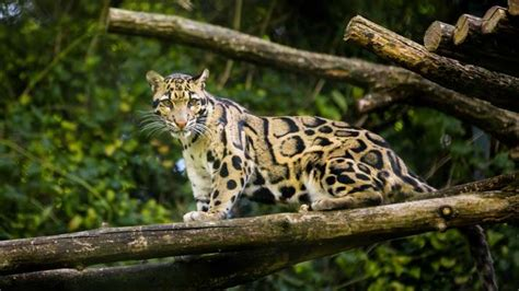 """""""Extinct"""" Leopard Spotted In Taiwan For The First Time"""