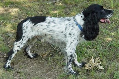 Russian Spaniel Breed Guide - Learn about the Russian Spaniel