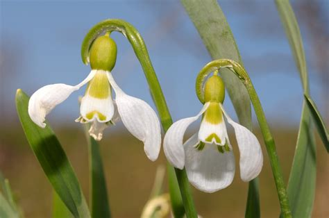 Snowdrops   Planting & Caring for Galanthus Flowers