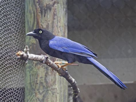 Pictures and information on Purplish-backed Jay
