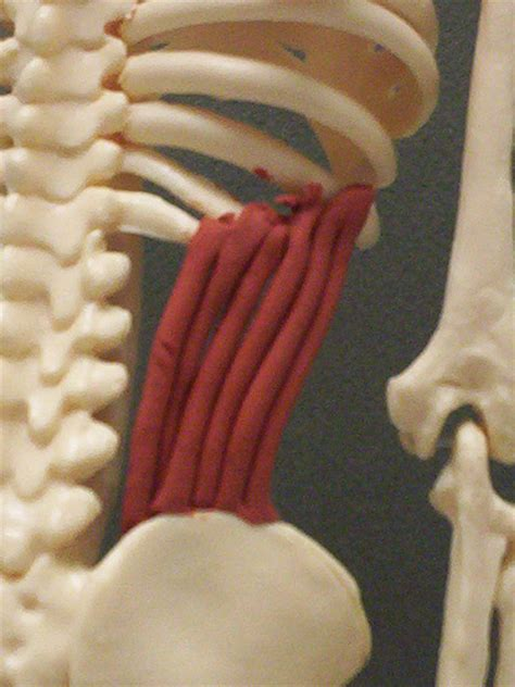 Internal Abdominal Obliques   Feets of Clay