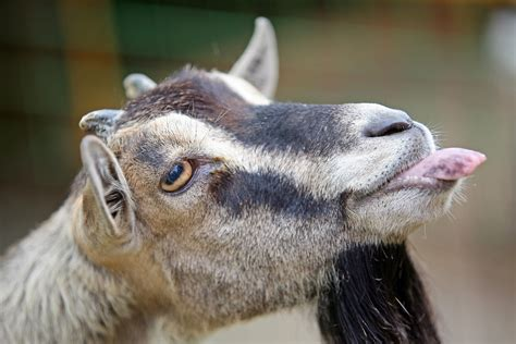 Don't forget your goat when you travel by taxi